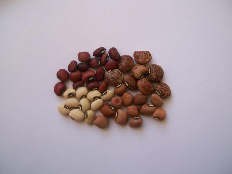 Una iniciativa para producir harina de porotos y formular nuevos alimentos en Corrientes